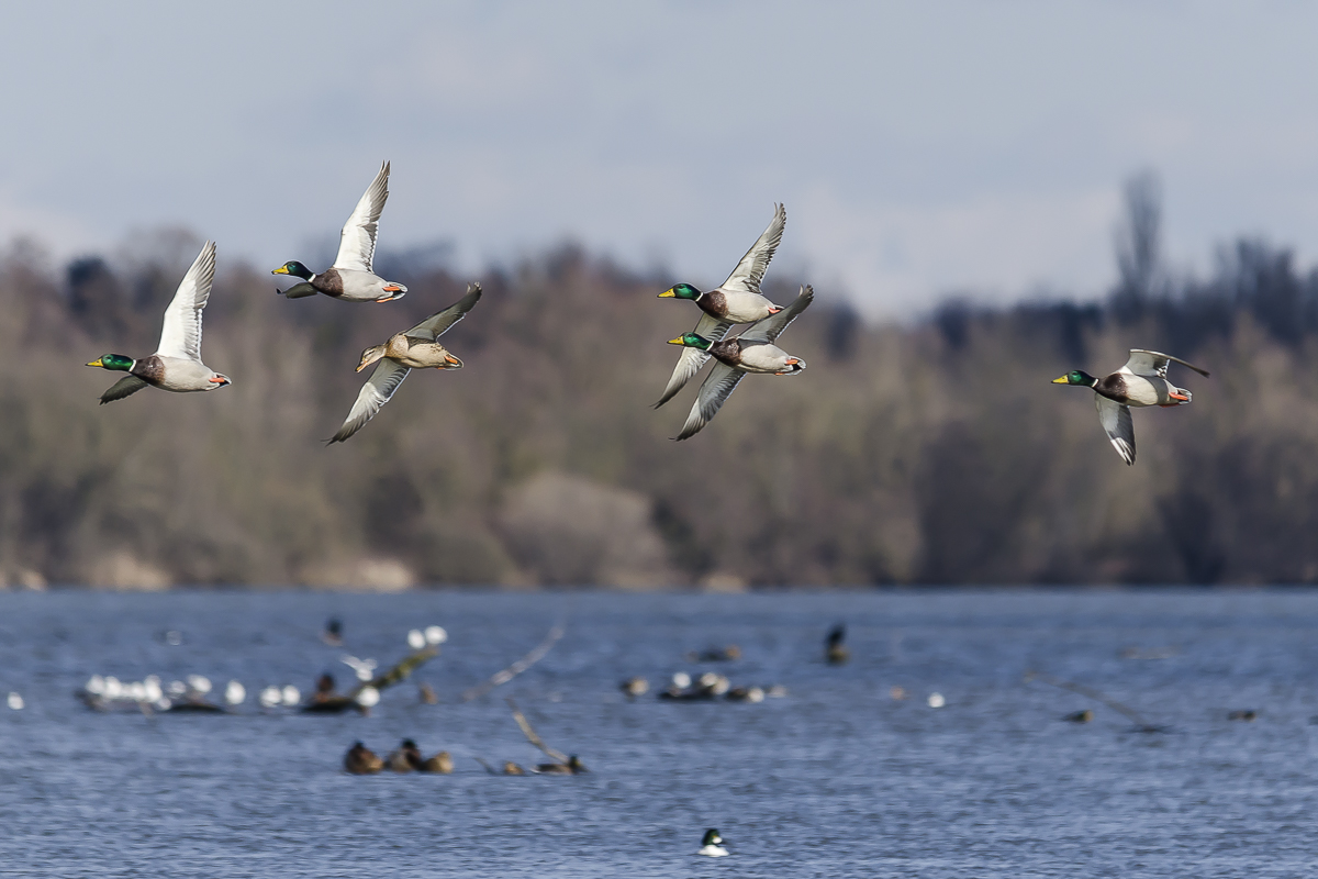 Vol de canards au dessus d'un plan d'eau