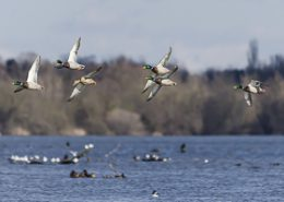 Canard colvert en vol au dessus d'un plan d'eau