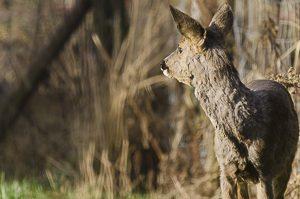 Chevreuil européen regardant au loin