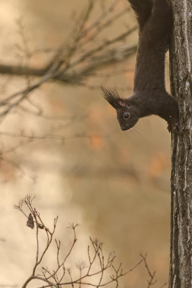 Ecureuil descendant le long d'un tronc