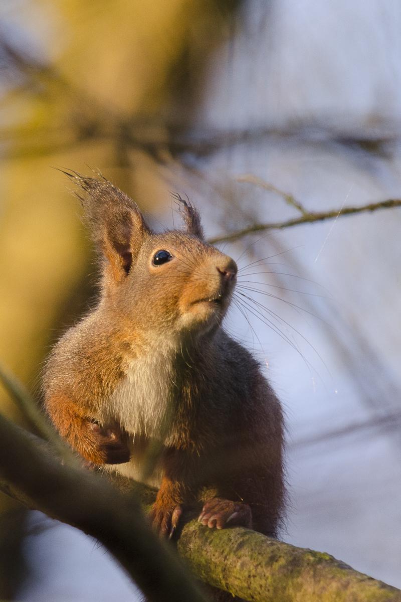 Ecureuil observant le ciel
