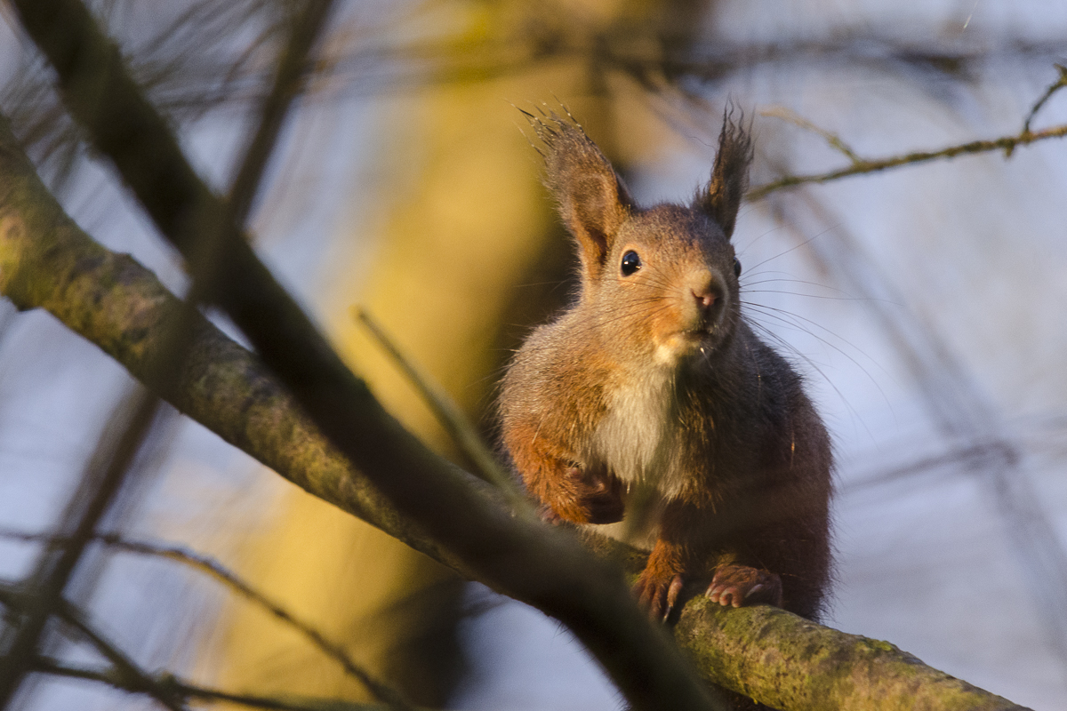 Ecureuil sur une branche proche