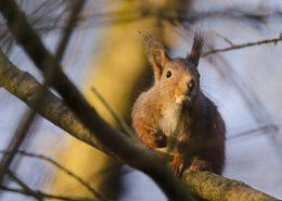Portrait d'écureuil roux