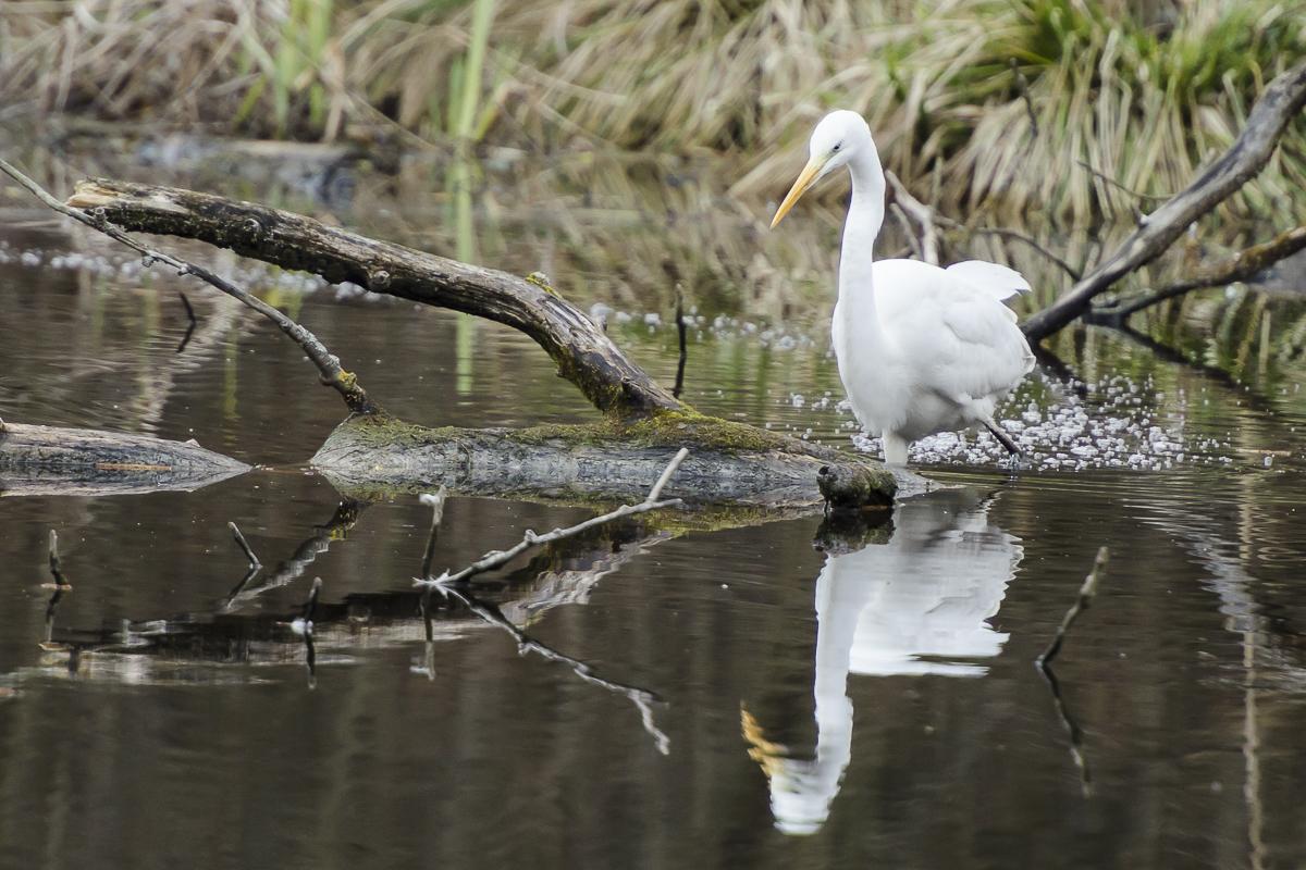 Aigrette agitant l'eau pour faire bouger les poissons