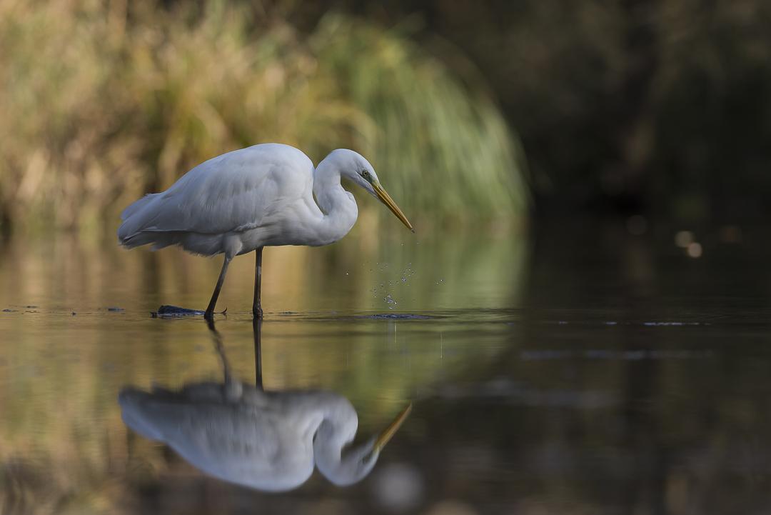 Grande aigrette et son reflet dans l'eau