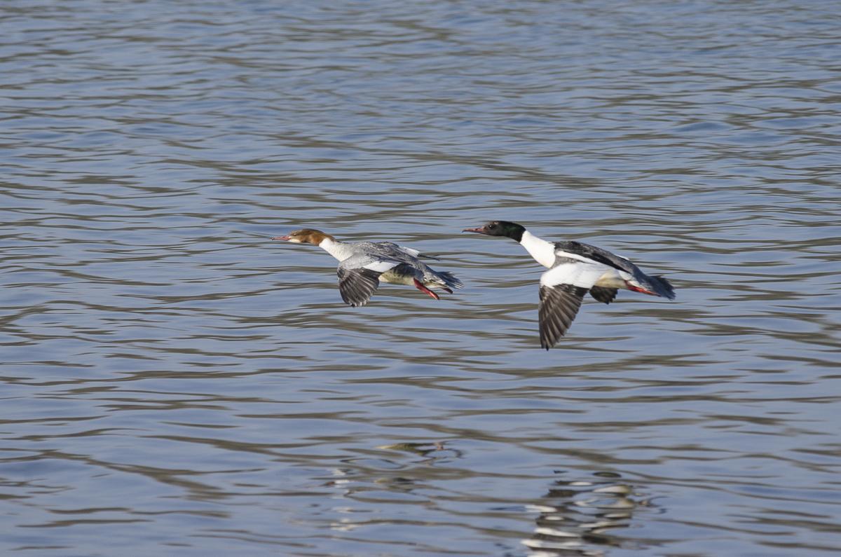 Harles en vol au ras de l'eau