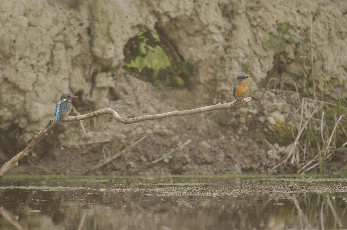 Martin pêcheur posé sur une branche