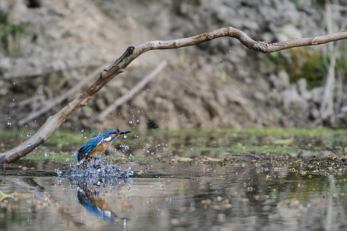 Martin pêcheur en vol à sa sortie de l'eau
