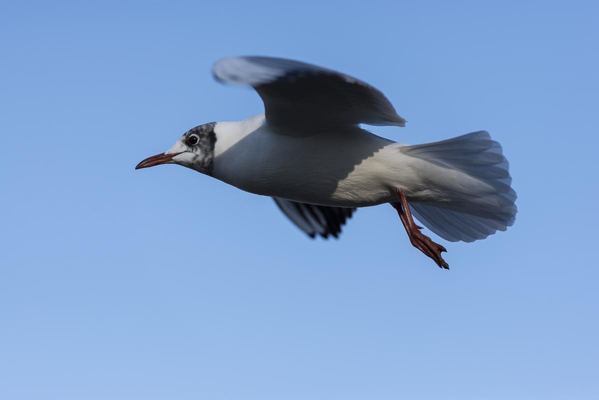Mouette rieuse en vol