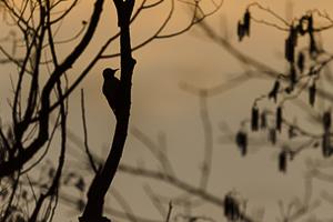 Février 2014 Pic au lever du jour