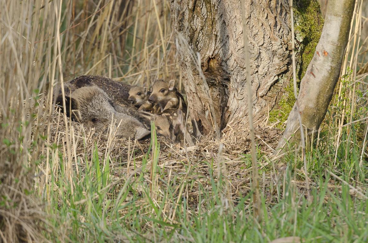 Sanglier femelle couchée avec ses marcassins