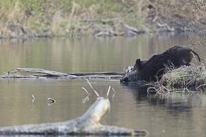 Sanglier entrant dans un bras de rivière