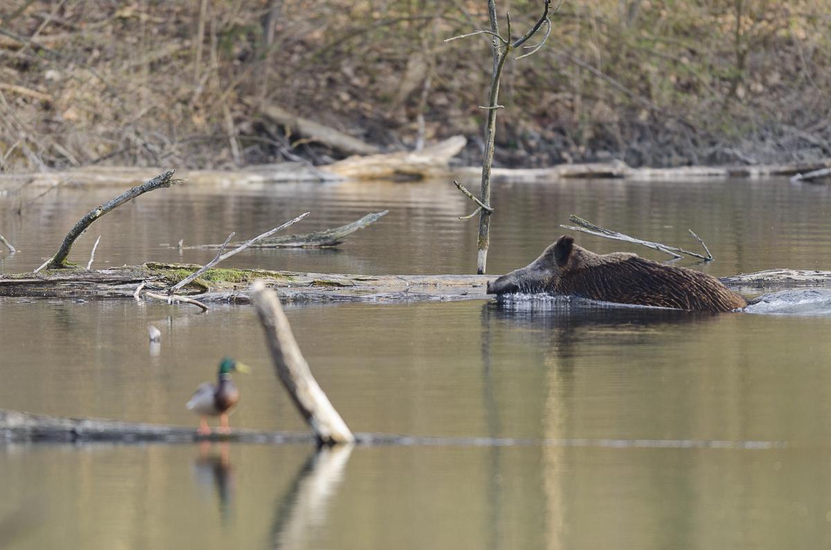 Sanglier traversant un bras de rivière