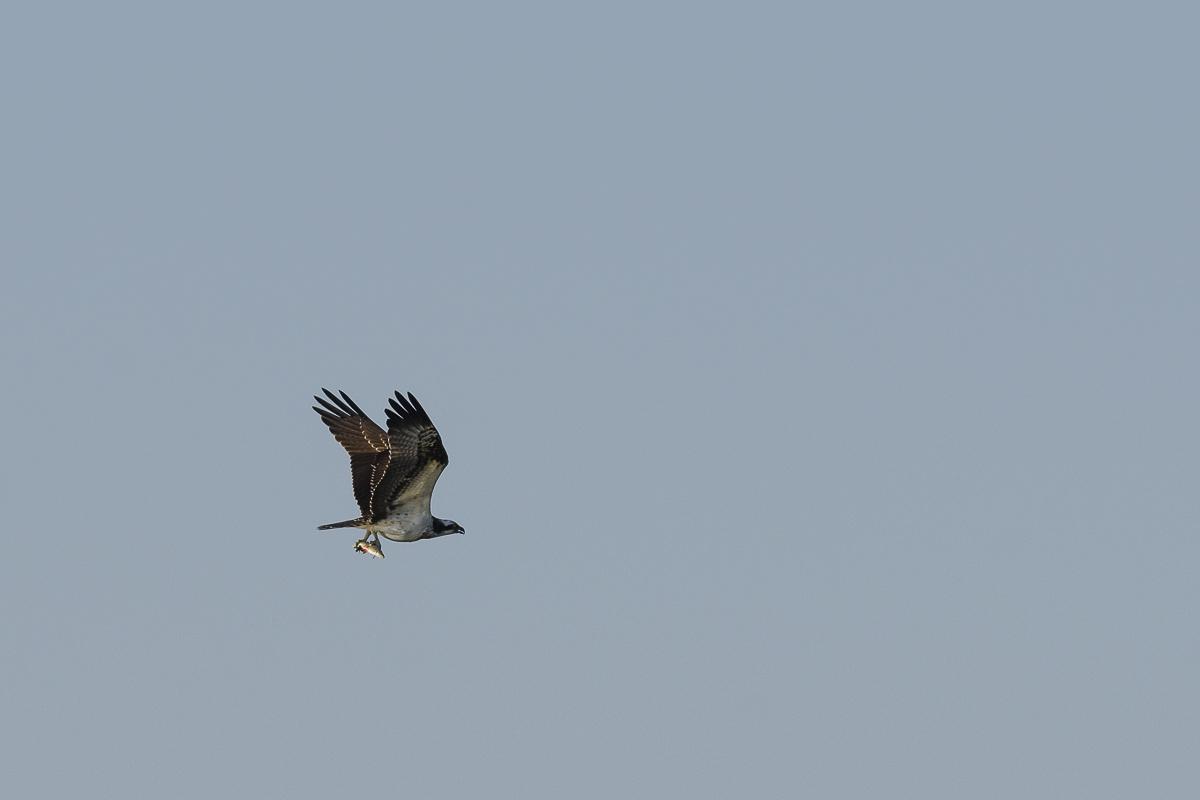 Balbuzard pêcheur en vol avec un poisson dans les serres