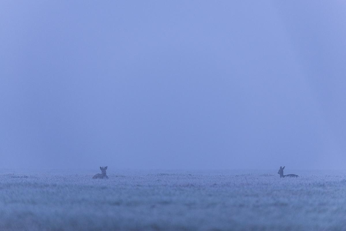 Chevreuil européen au repos dans un pré entièrement gelé