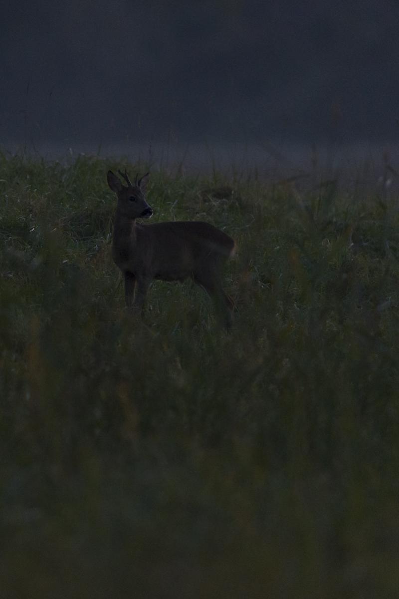 Chevreuil européen jeune mâle dans un champ à la tombée de la nuit