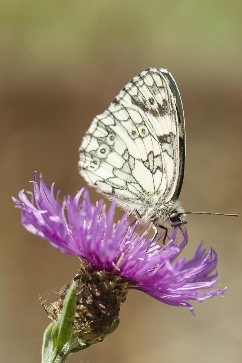 Un papillon Demi deuil posé sur une fleur mauve