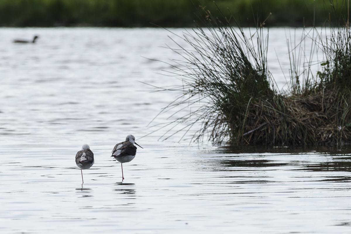 Echasse blanche deux individus au repos sur un étang
