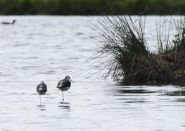 Echasse blanche au repos sur un étang