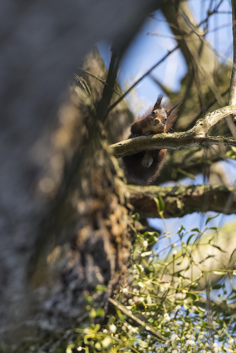 Ecureuil roux photo prise depuis le sol, l'individu est au dessus et m'observe