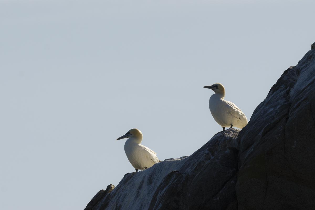 Fou de Bassan , deux individus posés en bord de falaise au soleil