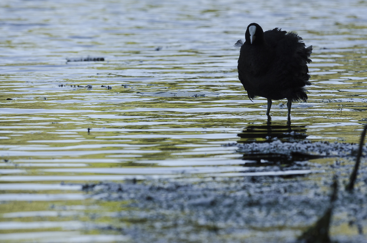 Foulque macroule les pieds dans l'eau sous une belle lumière