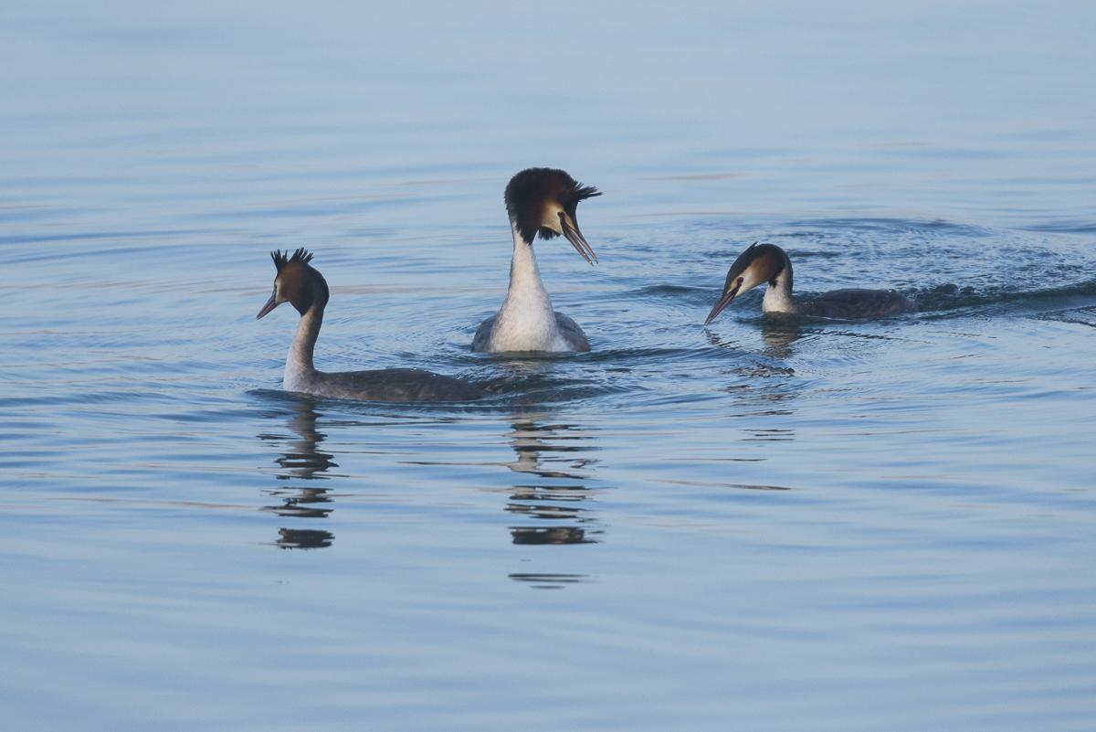 Grèbe huppé un groupe de trois individus sur l'eau
