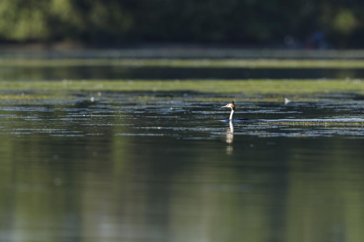 Grèbe huppé dont seul le cou semble dépasser de l'eau