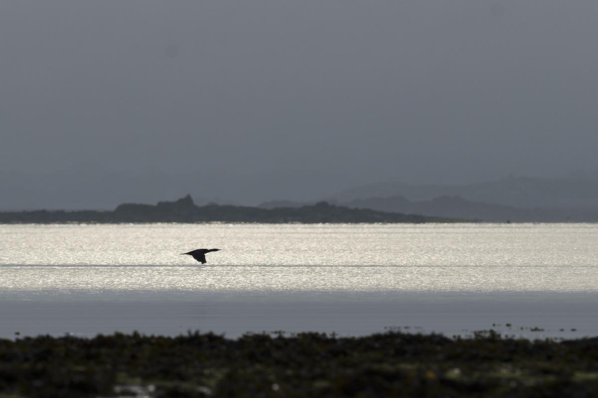 Grand cormoran survolant la baie à l'aube