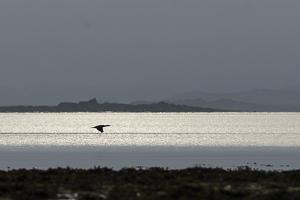 Juillet 2014 : Grand cormoran survolant la baie à l'aube