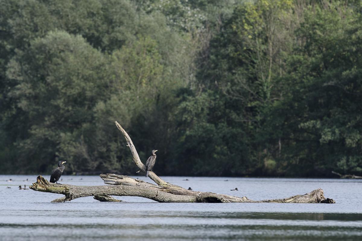 Grand cormoran deux individus au repos sur un tronc flottant