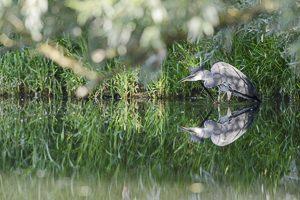 Juin 2014 : Héron cendré se grattant avec sa patte avant dans un marais