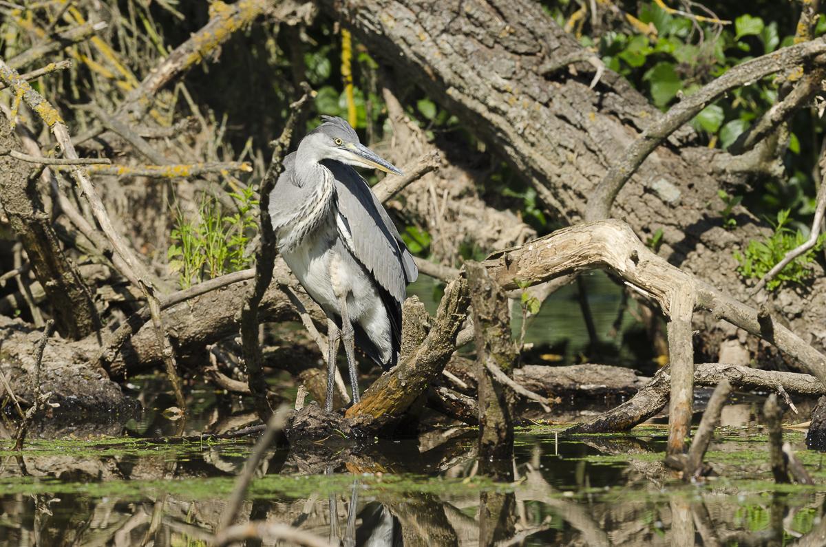 Héron cendré debout sur un tas de branches à la surface de l'eau