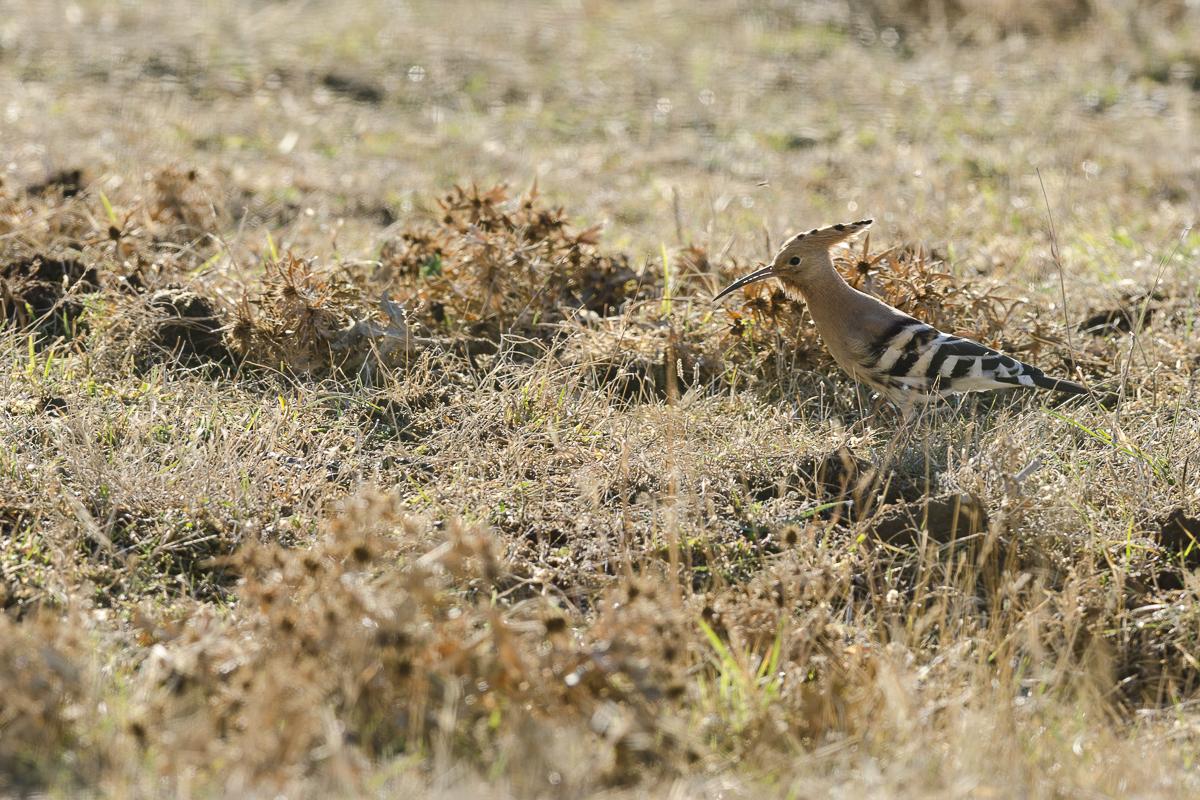 Huppe fasciée cherchant sa nourriture au sol dans un pré sec