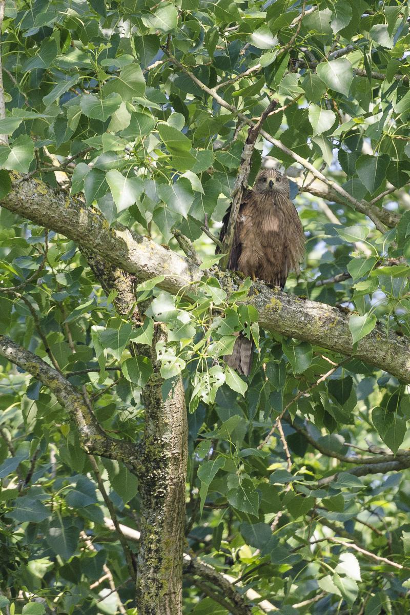 Jeune milan noir posé sur une branche