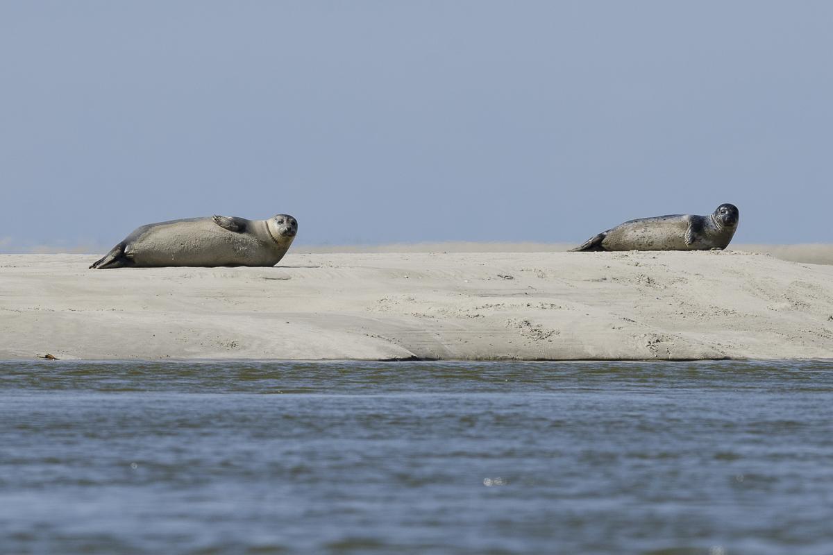 Phoque veau marin deux individus sur un banc de sable