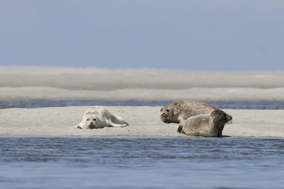 Phoque veau marin jeunes individus sur un banc de sable