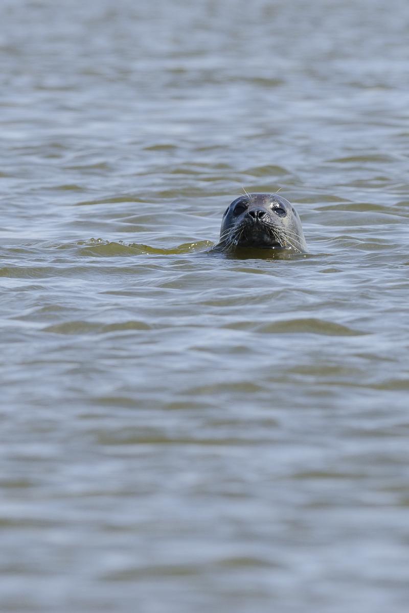 Phoque veau marin sortant la tête de l'eau