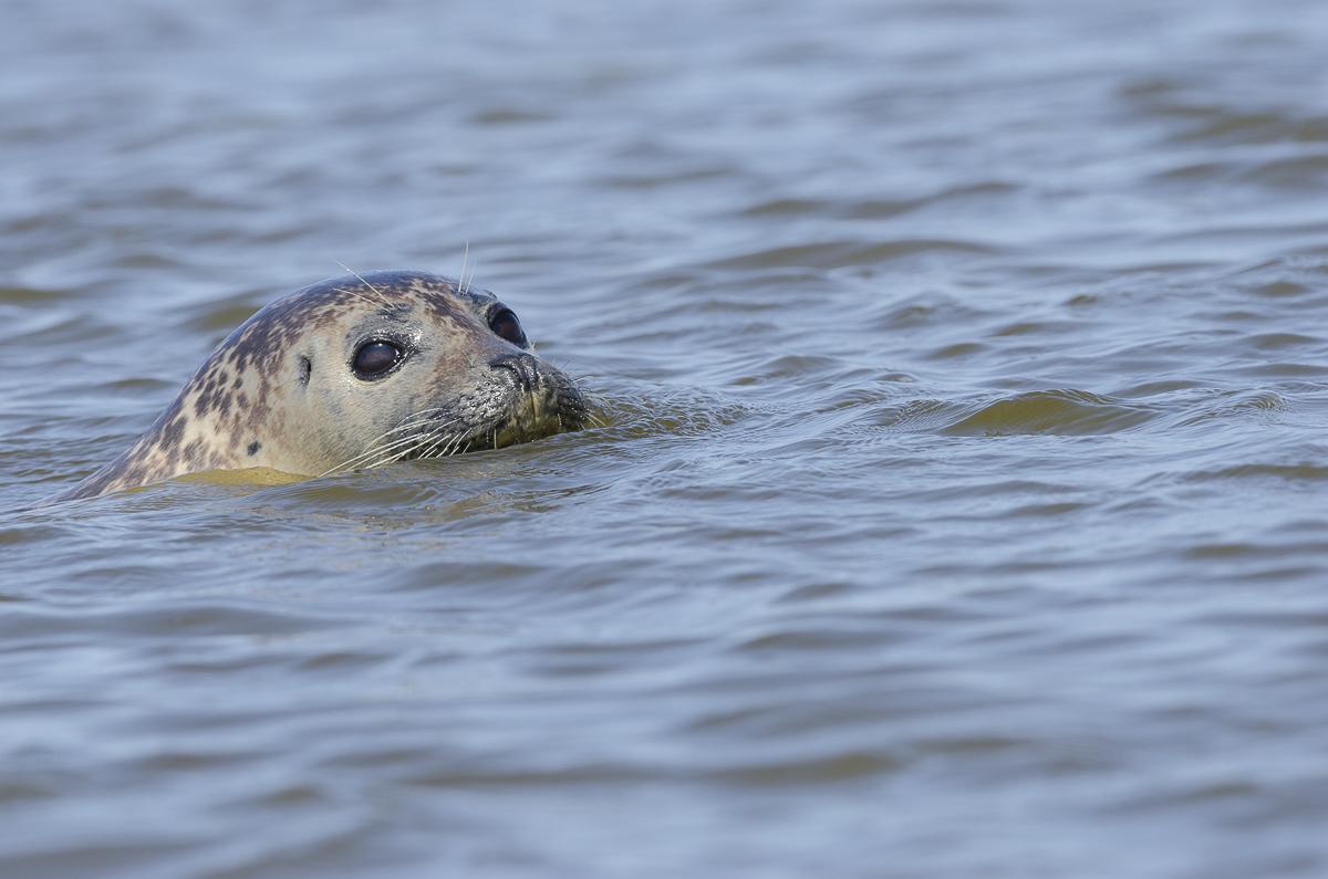 Phoque veau marin en gros plan photo prise depuis un canoë