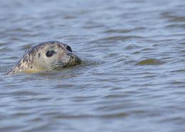 Août 2014 Phoque veau marin en gros plan