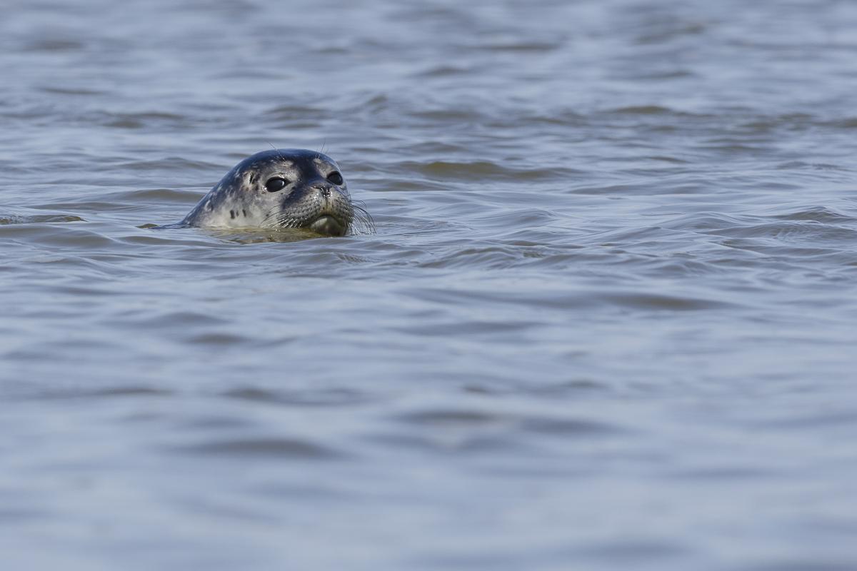 Phoque veau marin se retournant pour m'observer