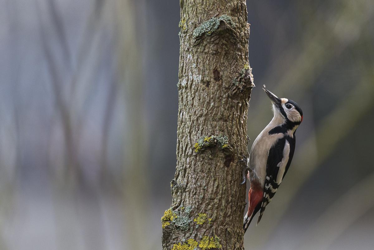 Pic épeiche langue sortie à la recherche d'insectes sur un tronc