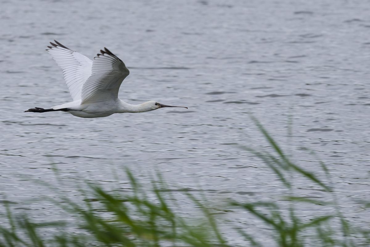 Spatule blanche survolant un plan d'eau