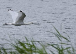 Spatule blanche en vol au dessus d'un plan d'eau