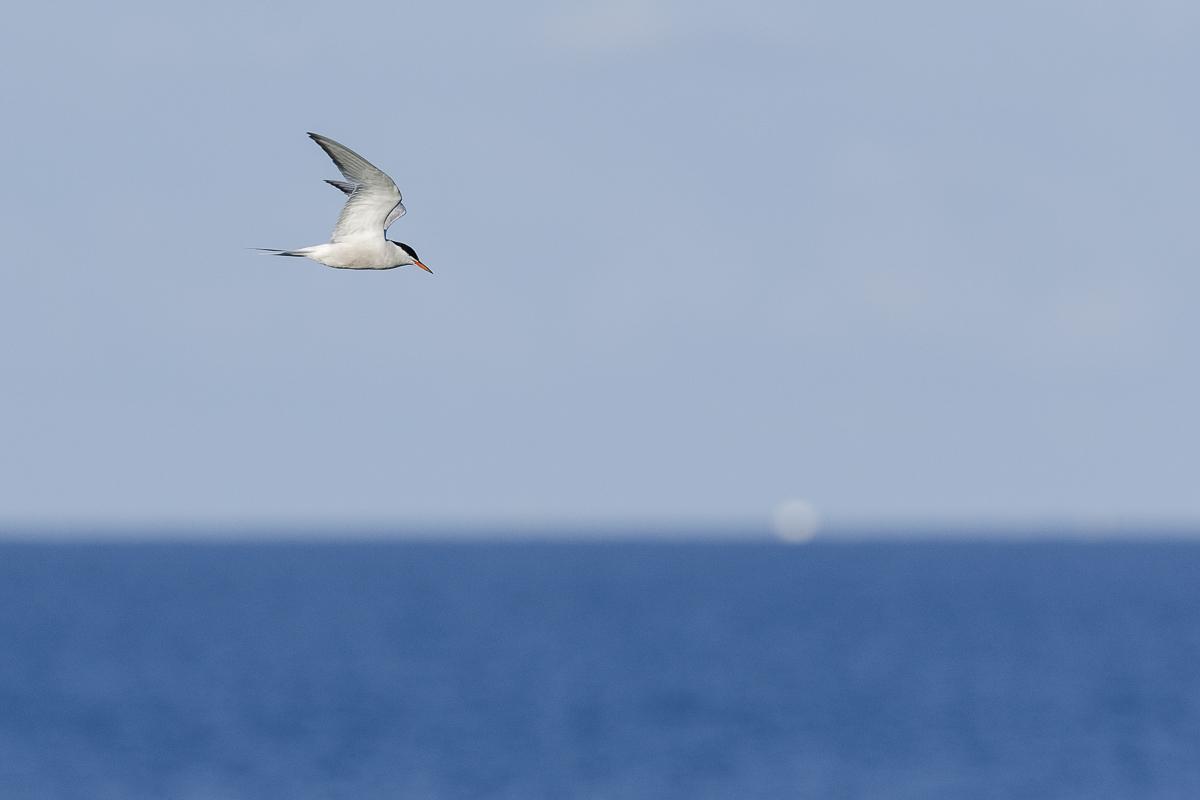 Sterne pierregarin en vol au dessus de la mer au lever du jour