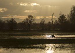 Cigogne blanche en contre jour au coucher du soleil