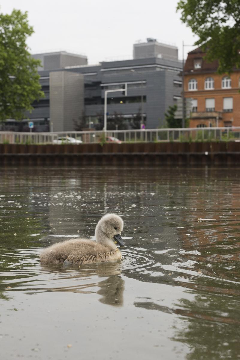 Cygne tuberculé immature pris sur un canal en milieu urbain