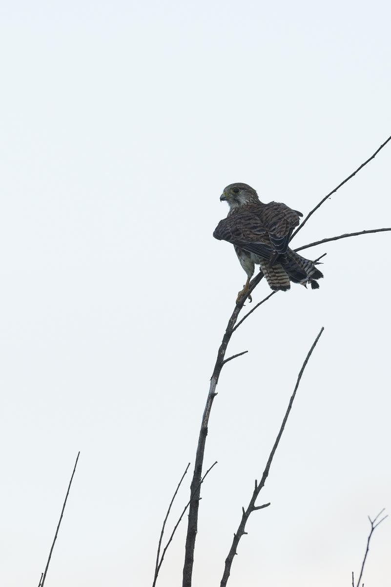 Faucon crécerelle à contre jour sur une branche