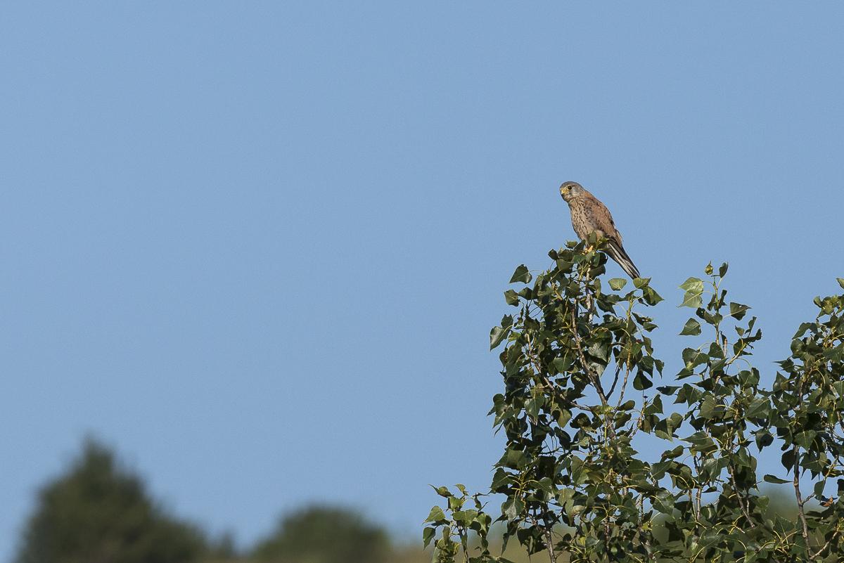 Faucon crécerelle à la cime d'un arbre