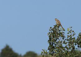 Faucon crécerelle prend le soleil à la cime d'un arbre